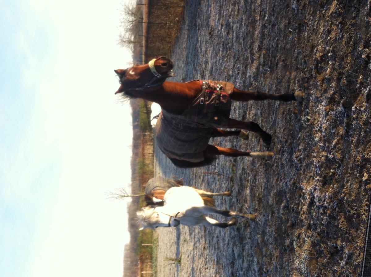 Leuke grote C pony 4 jaar net beleerd.