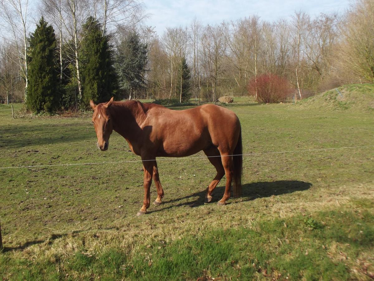 Westen paard