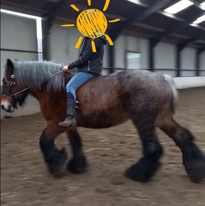 Belgisch trekpaard, zeer lief!