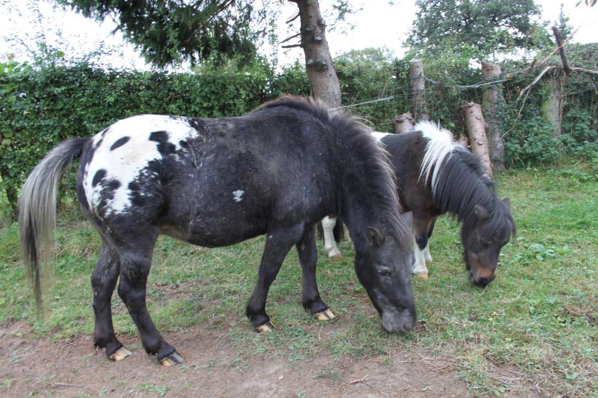 Te koop: Appaloosa pony's met stamboom!