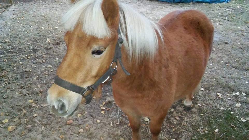 Shetland pony te koop