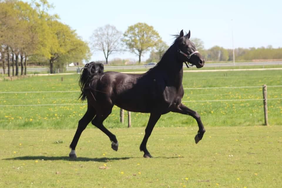 Midnight Rose 3 jarige D pony