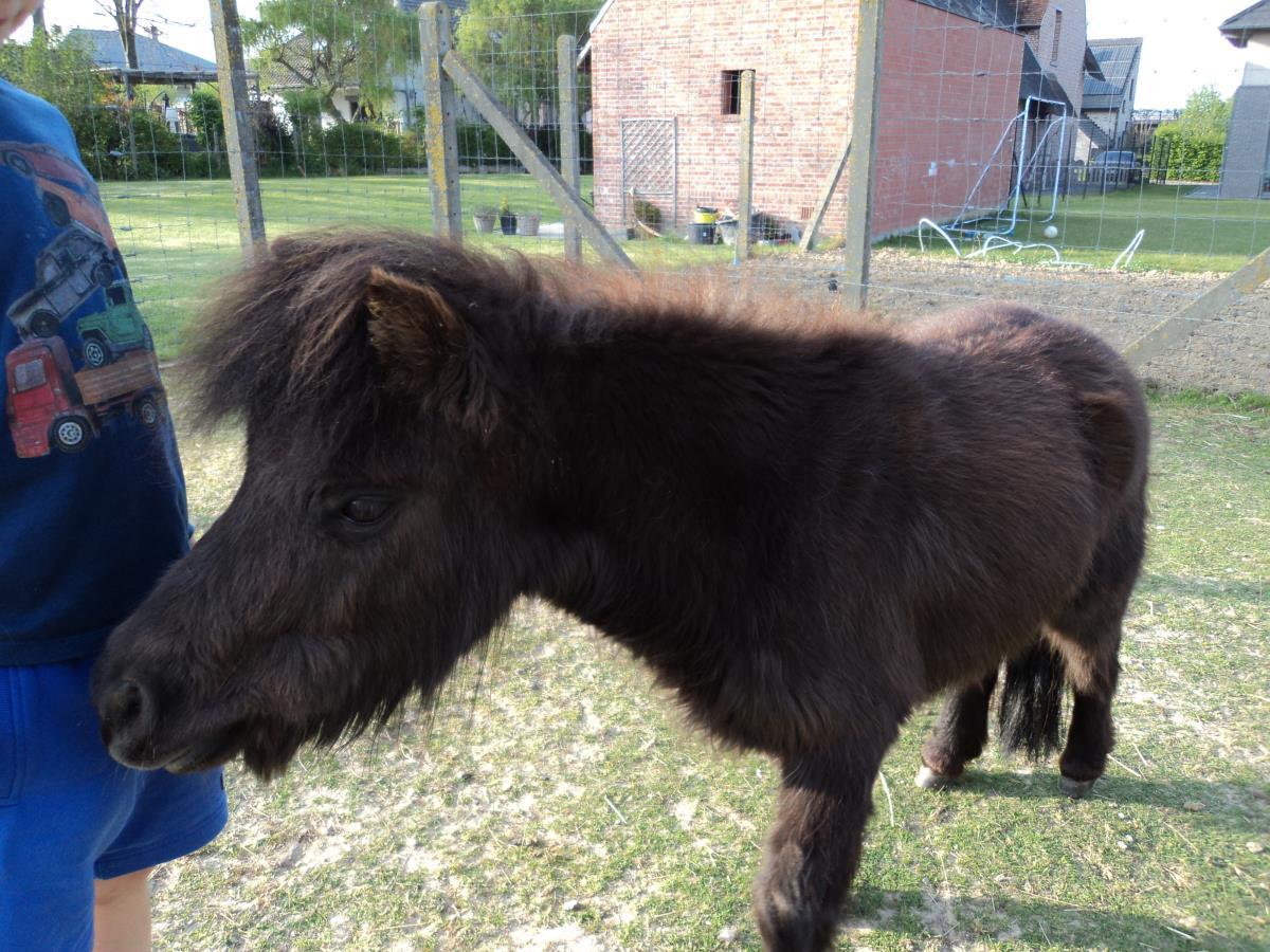 AMHA Miniatuurpaard merrie